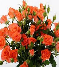 """Троянда спрей """"Оранж Бейбі"""""""