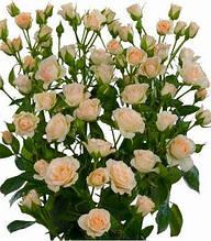 "Троянда спрей ""Крем Грация"""