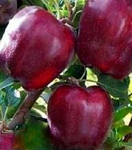 Яблуня Орнамент