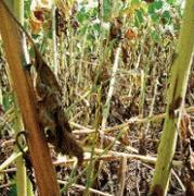 Листовая подкормка с медью и аминокислотами для подсолнечника, сои и кукурузы в условиях засухи