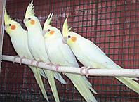 Попугай Корелла Нимфа белый цвет.