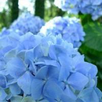 Гортензия крупнолистная  marine blue