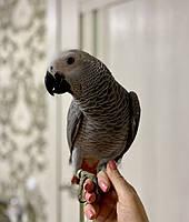 Экстравагантный попугай Жако - выкормыш.