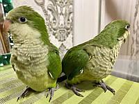 Попугаи Калита - Монах (Квакер) выкормыши