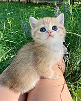 Кошечка шотландская прямоухая шиншилла, рожден 13.05.2020 в питомнике Royal Cats. Украина, Киев, фото 1
