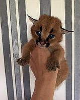 Кошечка Каракал, д.р. 13/06/2020. Питомник Royal Cats. Украина, г. Киев