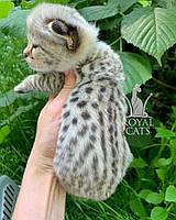 Кошечка Саванна Ф1, родилась 22/05/2020. Котята Саванна Ф1, питомник Royal Cats. Украина, Киев, фото 1