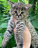 Кошечка Саванна Ф1, родилась 10/05/2020. Котята Саванна Ф1, питомник Royal Cats. Украина, Киев