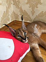 Котёнок Каракал, д.р. 20/04/2020. Питомник Royal Cats. Украина, г. Киев