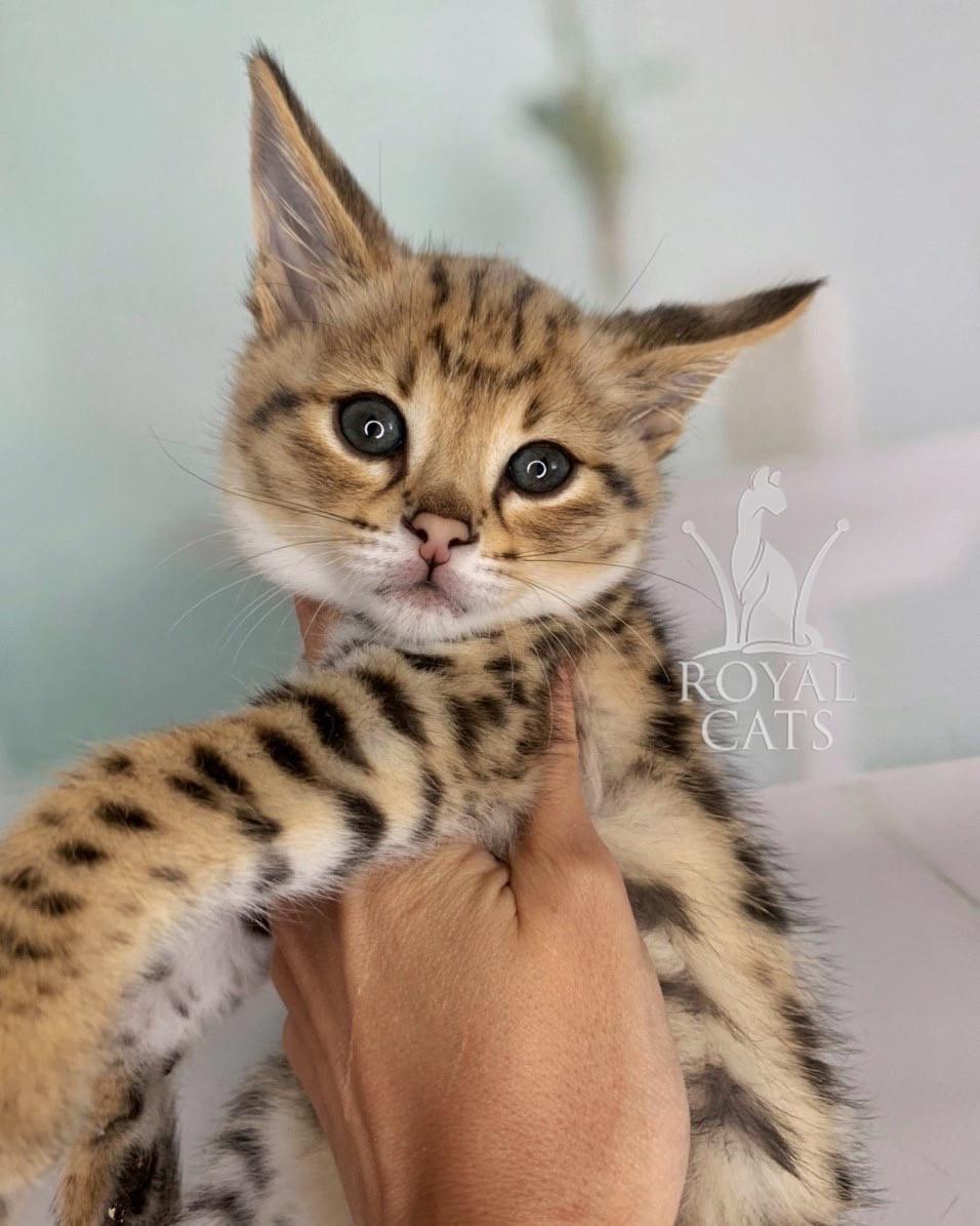 Котёнок Саванна Ф1, родился 22/05/2020. Котята Саванна Ф1, питомник Royal Cats. Украина, Киев