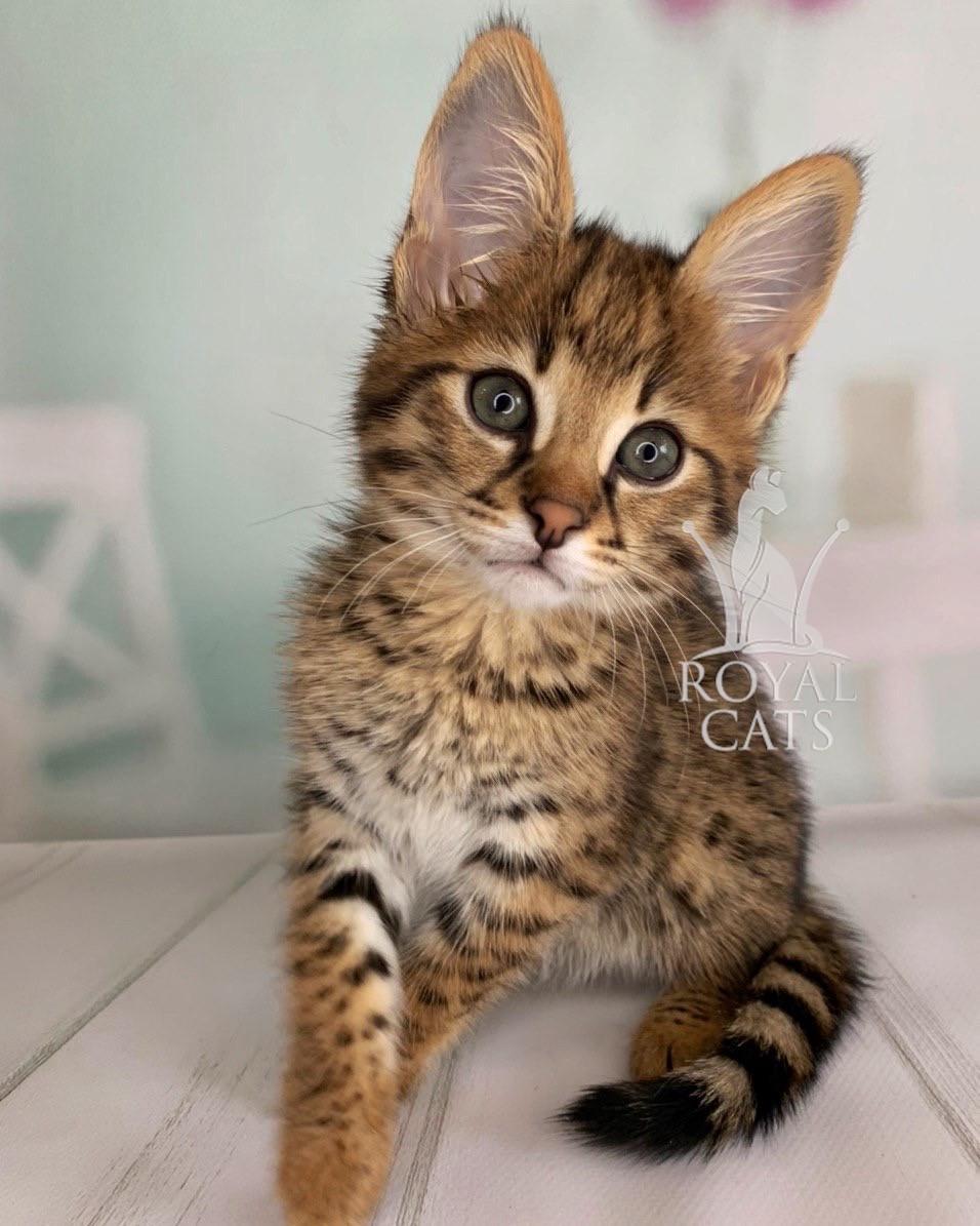 Котёнок Саванна Ф1, родился 10/05/2020. Котята Саванна Ф1, питомник Royal Cats. Украина, Киев