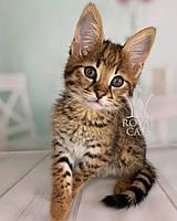 Котёнок Саванна Ф1, родился 10/05/2020. Котята Саванна Ф1, питомник Royal Cats. Украина, Киев, фото 1