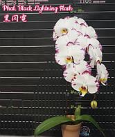 """Орхидея подросток. Сорт Black Lightning Flash (Color instability), размер 1.7"""" без цветов, фото 1"""
