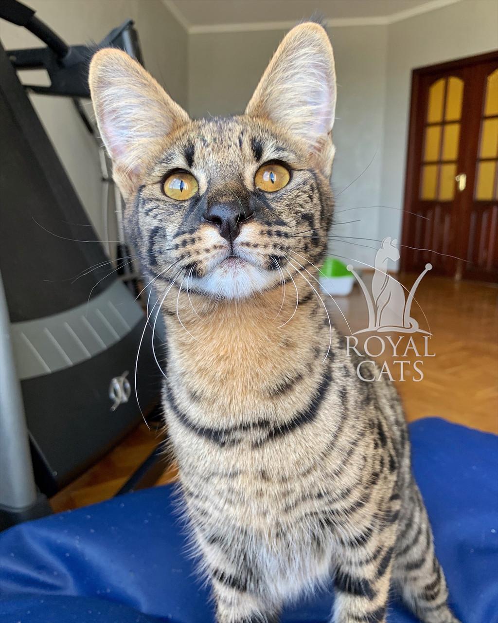 Кошечка Саванна Ф1, родилась 05/01/2020. Котята Саванна Ф1, питомник Royal Cats. Украина, Киев