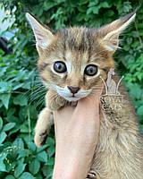 Кошечка Чаузи Ф1 (зеленый ошейник), рождена 28.05.2020. Питомник Royal Cats. Украина, Киев, фото 1