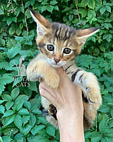 Кошечка Чаузи Ф1 (голубой ошейник), рождена 28.05.2020. Питомник Royal Cats. Украина, Киев, фото 1