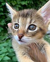 Кошечка Чаузи Ф1 (оранжевый ошейник), рождена 28.05.2020. Питомник Royal Cats. Украина, Киев