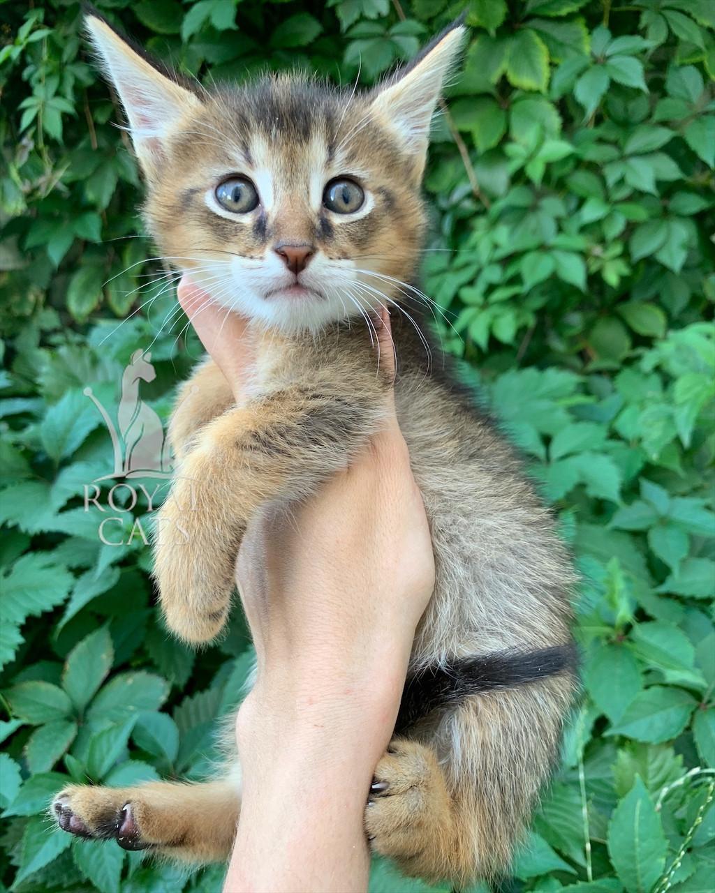 Котёнок Чаузи Ф1 (черный ошейник), рождена 28.05.2020. Питомник Royal Cats. Украина, Киев