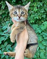 Котёнок Чаузи Ф1 (черный ошейник), рождена 28.05.2020. Питомник Royal Cats. Украина, Киев, фото 1