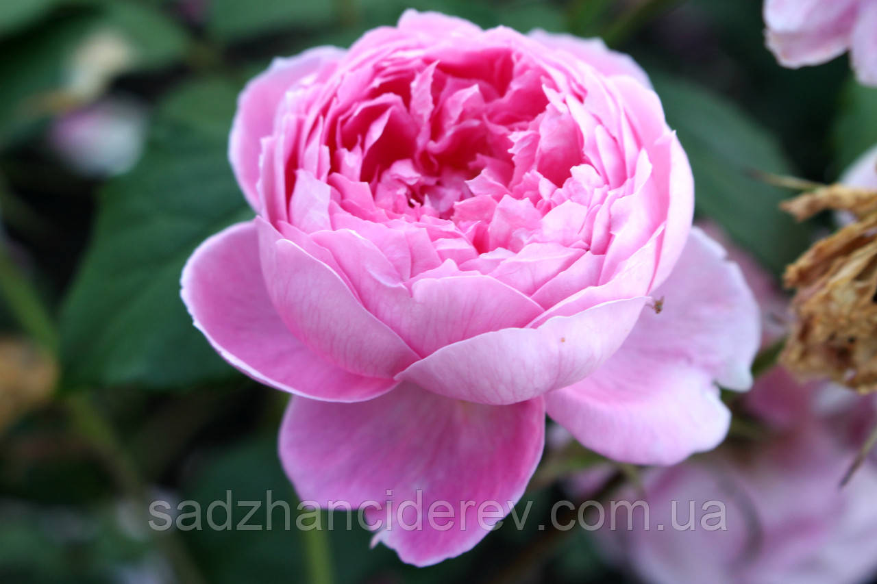 Саджанці троянд Алан Тітчмарш (Alan Titchmarsh)