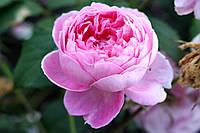 Саджанці троянд Алан Тітчмарш (Alan Titchmarsh), фото 1