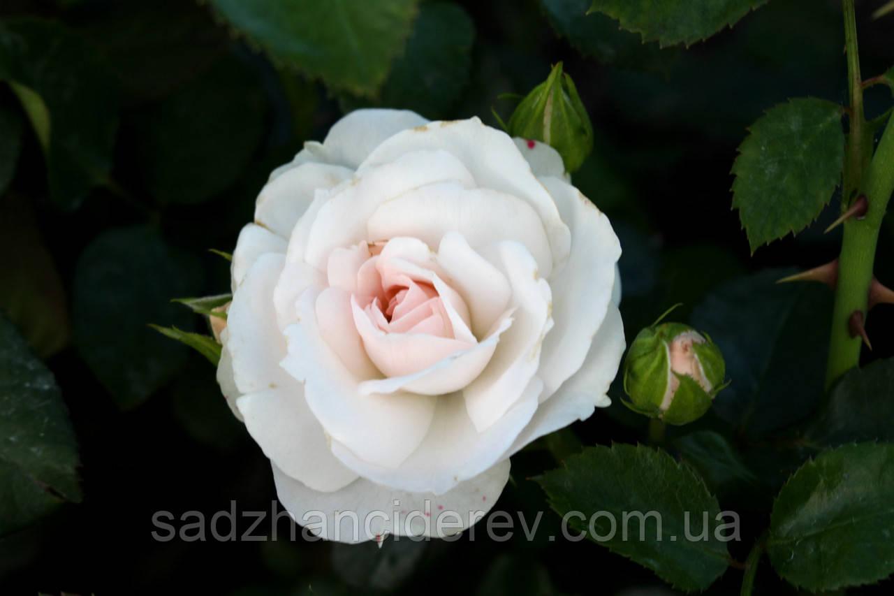 Саджанці троянд Аспірін Розе (Aspirin Rose)