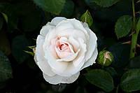 Саджанці троянд Аспірін Розе (Aspirin Rose), фото 1