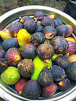 Инжир-свежие плоды, фото 1