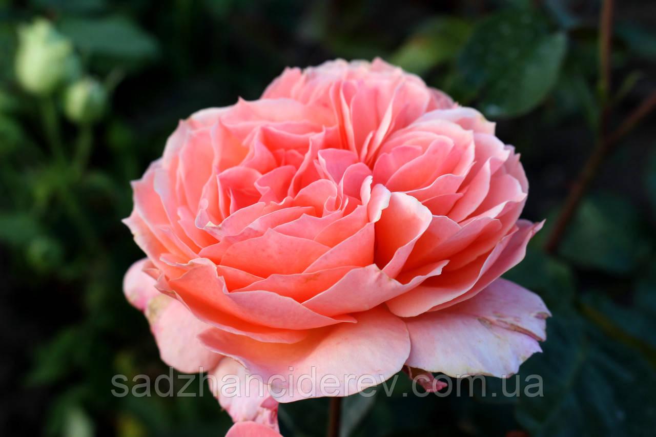 Саджанці троянд Бельведер (Belvedere, Бельведере)