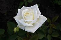 Саджанці троянд Боїнг (Boeing), фото 1