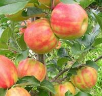 Саженцы яблони Карнавал