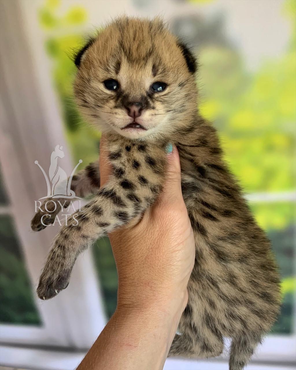 Кошечка Сервал, дата рождения 26.06.2020. Питомник Royal Cats. Украина, Киев