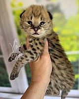 Кошечка Сервал, дата рождения 26.06.2020. Питомник Royal Cats. Украина, Киев, фото 1