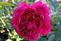 Саджанці троянд Вільям Шекспір 2000 (William Shakespeare 2000), фото 1