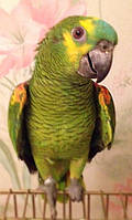 Синелобый амазон (Amazona aestiva) - выкормыш, фото 1