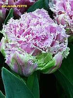 Тюльпан махрово-бахромчатый Perth  11/ 12, фото 1