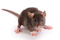 Уничтожение крыс и мышей в любых помещениях (общепит, склады, ЖКХ, ангары, территории)