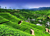 Чайные плантации острова Шри-Ланка.
