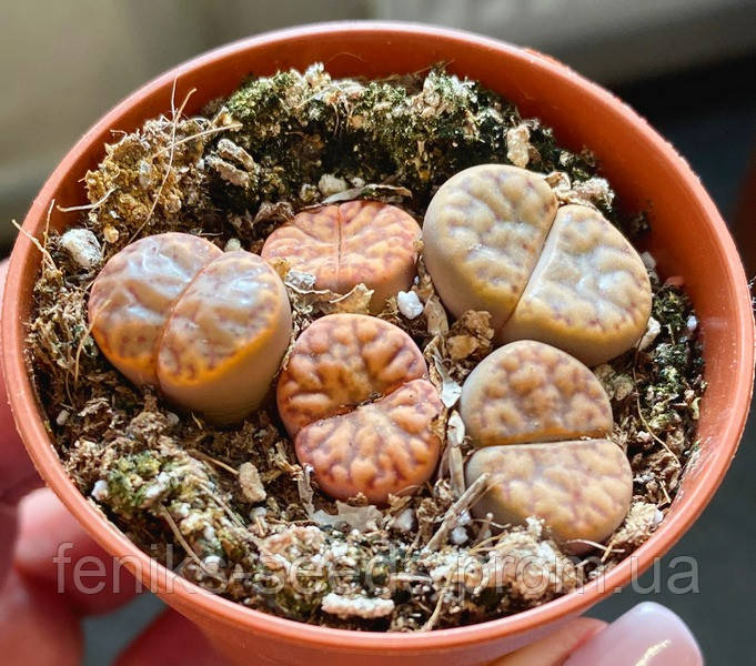 Литопс растения №2