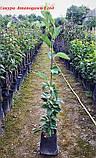 Сакура Amanogawa (Аманогава) від 1,0 - 1.2 м у контейнері 1 рік, фото 3