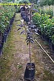 Сакура Royal Burgundy від 1,0-1.2 м у кон 1рік, фото 3