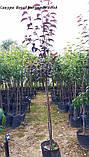 Сакура Royal Burgundy від 1,8 - 2м в кон 3 рік, фото 3