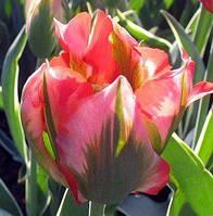 Луковичные растения Тюльпан Hollywood (зеленоцв)