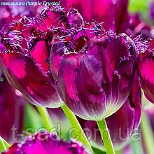 Тюльпан бахромчатий Purple Crystal 11/12