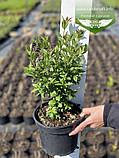Ligustrum vulgare 'Atrovirens', Бирючина звичайна 'Атровіренс',C2 - горщик 2л, фото 6
