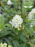 Ligustrum vulgare 'Atrovirens', Бирючина звичайна 'Атровіренс',C2 - горщик 2л, фото 7