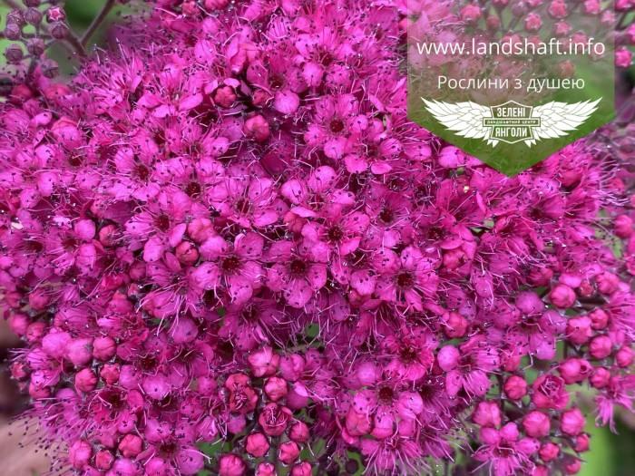 Spiraea japonica 'Anthony Waterer', Спірея японська 'Антоні Ватерер',C2 - горщик 2л