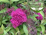 Spiraea japonica 'Anthony Waterer', Спірея японська 'Антоні Ватерер',C2 - горщик 2л, фото 5