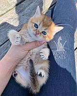 Кошечка шотландская прямоухая шиншилла, рожден 14.06.2020 в питомнике Royal Cats. Украина, Киев, фото 1