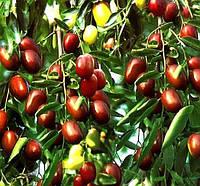Саженцы Зизифуса Южанин (привитый) - ранний, морозостойкий, урожайный (унаби, финика, жужуба)